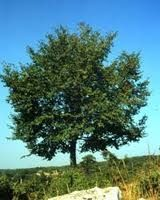 Thermophilic trees: hop hornbeam, manna ash and downy oak