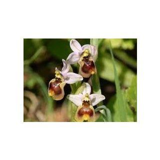 Le ofridi - orchidee