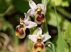 Ophrys - orchids