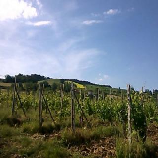 Agriturismo UvaMatta -  Collina con vigneto